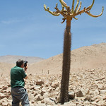 Guest Martin Grace (from the UK) photographing the odd-looking Chandelier cactus (Browningia candelaris) along the road from Arica to Putre, northern Chile © Claudio F. Vidal, Far South Expeditions