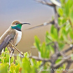© Claudio F. Vidal, Far South Expeditions, Andean Hillstar, Oreotrochilus estella