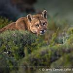 Puma (Puma concolor) / Torres del Paine National Park, Patagonia © Octavio Campos Salles Photography