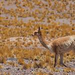 Vicuña, near Laguna Miscanti, Antofagasta, Chile © Enrique Couve, FS Expeditions | www.fsexpeditions.com