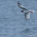 © Rodrigo Tapia, Far South Expeditions, Swallow-tailed Gull, Creagrus furcatus
