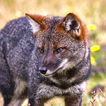 Darwin's Fox, Lycalopex fulvipes © Enrique Couve, Far South Expeditions