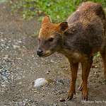 Pudu Deer, Photo © Rodrigo Tapia, Far South Expeditions