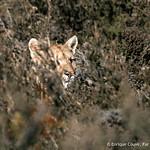 Puma - Puma concolor Torres del Paine National Park  © Enrique Couve, Far South Expeditions
