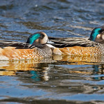 Chiloé Wigeon (Anas sibilatrix) © Enrique Couve, Far South Expeditions - http://www.farsouthexpeditions.com
