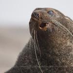 Antarctic Fur Seal (Arctocephalus gazella) © Claudio F. Vidal, FS Expeditions - www.fsexpeditions.com